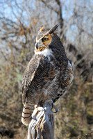 Great Horned Owl ~ Doris Mager
